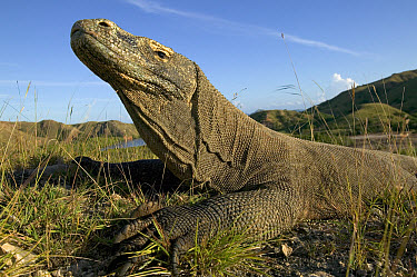 Komodo Dragon (Varanus komodoensis) basking at sunrise, Rinca Island, Komodo National Park, Indonesia  -  Cyril Ruoso