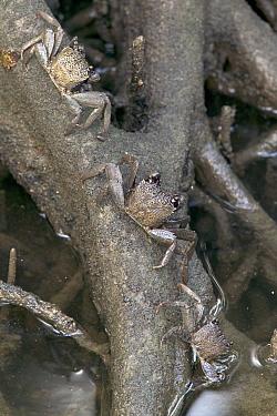 Crab (Episesarma sp) trio camouflaged on mangrove roots, Sungei Buloh Nature Park, Singapore  -  Cyril Ruoso