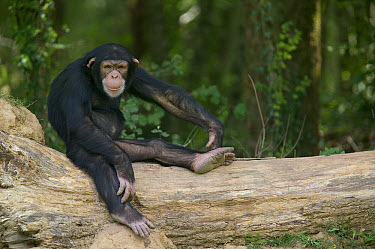Bonobo (Pan paniscus) sitting on fallen tree, La Vallee Des Singes Primate Center, France  -  Cyril Ruoso