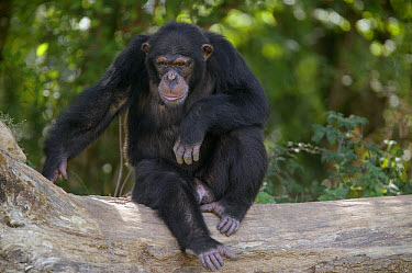 Chimpanzee (Pan troglodytes) young male sitting on fallen tree, La Vallee Des Singes Primate Center, France  -  Cyril Ruoso