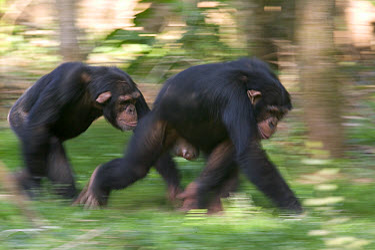 Chimpanzee (Pan troglodytes) pair knuckle-walking, La Vallee Des Singes Primate Center, France  -  Cyril Ruoso