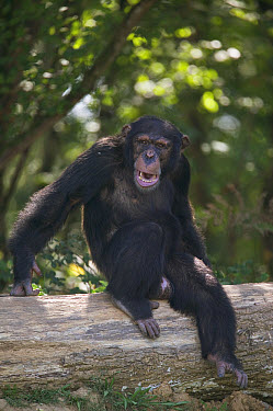 Bonobo (Pan paniscus) young male sitting on fallen tree, La Vallee Des Singes Primate Center, France  -  Cyril Ruoso