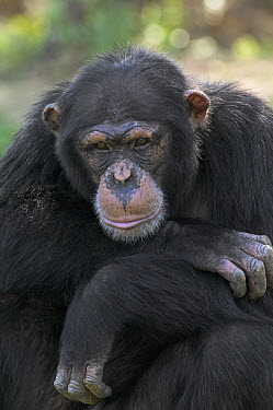Bonobo (Pan paniscus) portrait, La Vallee Des Singes Primate Center, France  -  Cyril Ruoso