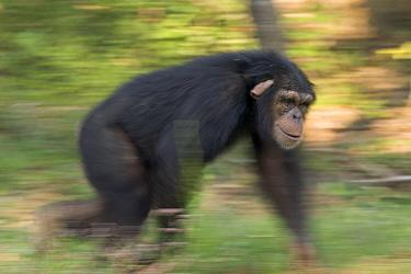 Bonobo (Pan paniscus) knuckle-walking through grass, native to Africa  -  Cyril Ruoso