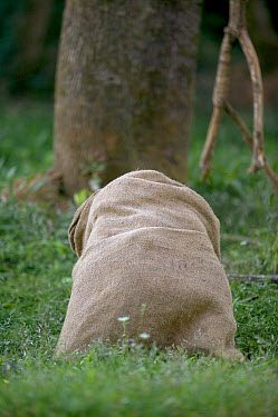 Chimpanzee (Pan troglodytes) playing with burlap sack, La Vallee Des Singes Primate Center, France  -  Cyril Ruoso