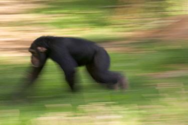 Chimpanzee (Pan troglodytes) knuckle-walking through grass, La Vallee Des Singes Primate Center, France  -  Cyril Ruoso