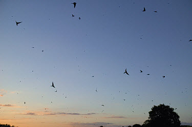 Barn Swallow (Hirundo rustica) flock flying over a corn field during migration, Poitou, France  -  Cyril Ruoso