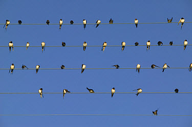Barn Swallow (Hirundo rustica) migratory flock of forty birds perching on telephone wire, Poitou, France  -  Cyril Ruoso