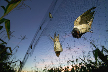 Barn Swallow (Hirundo rustica) pair caught in mist net set by researchers who tag, weigh and measure the birds and release them the next morning before sunrise, Poitou, France  -  Cyril Ruoso