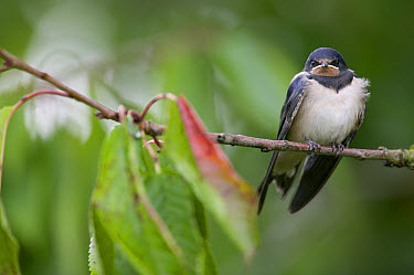 Barn Swallow (Hirundo rustica) fledgling on the morning it left the nest, waiting for the parents to bring food, Picardie, France  -  Cyril Ruoso