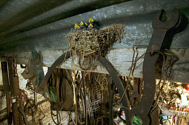Barn Swallow (Hirundo rustica) mud nest with begging chicks inside building, Picardie, France  -  Cyril Ruoso