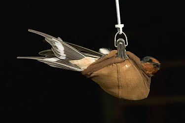 Barn Swallow (Hirundo rustica) adult weighed by researchers trying to determine the decline of the bird population in Europe, Picardie, France  -  Cyril Ruoso