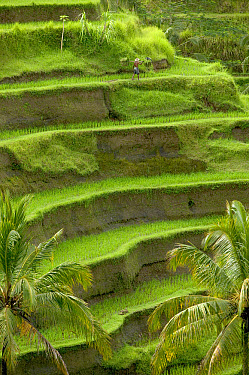 Farmer carrying basket through terraced rice paddy, Ubud area, Bali, Indonesia  -  Cyril Ruoso