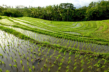Terraced rice paddy, Ubud area, Bali, Indonesia  -  Cyril Ruoso