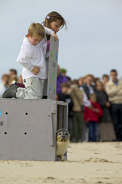Common Seal (Phoca vitulina) found as a baby on the coast of Picardie being released by children, France  -  Cyril Ruoso