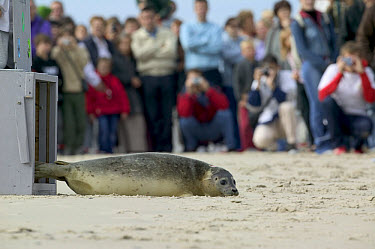Common Seal (Phoca vitulina) found as a baby on the coast of Picardie returning to the wild, France  -  Cyril Ruoso