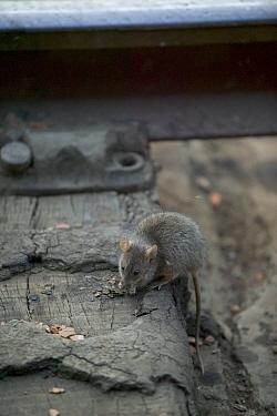 Black Rat (Rattus rattus) foraging, Agra Railway Station, India  -  Cyril Ruoso