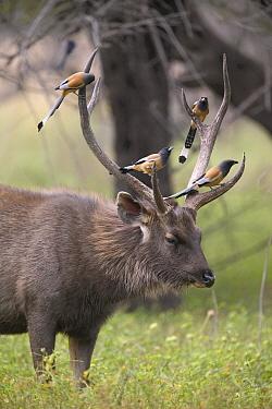 Sambar (Cervus unicolor) buck with Rufous Treepies (Dendrocitta vagabunda) perching on antlers, Ranthambore Reserve, Rajasthan, India  -  Cyril Ruoso