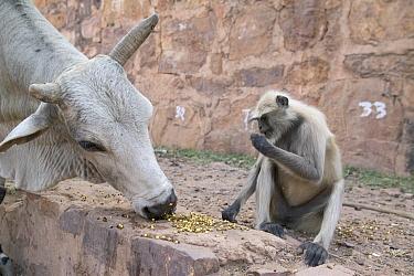 Hanuman Langur (Semnopithecus entellus) sharing offering with sacred cow, Ranthambore Reserve, Rajasthan, India  -  Cyril Ruoso