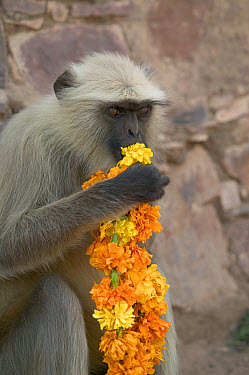 Hanuman Langur (Semnopithecus entellus) eating flower necklace given as offering, Ranthambore Reserve, Rajasthan, India  -  Cyril Ruoso