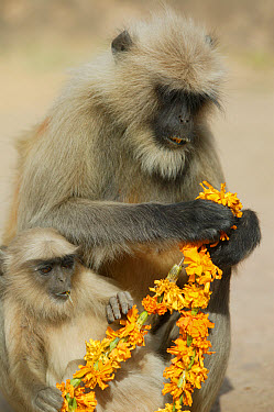 Hanuman Langur (Semnopithecus entellus) mother and baby eating flower necklace given as offering, Ranthambore Reserve, Rajasthan, India  -  Cyril Ruoso