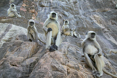 Hanuman Langur (Semnopithecus entellus) troop on cliff, Ranthambore Reserve, Rajasthan, India  -  Cyril Ruoso