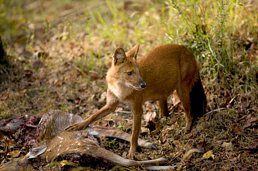 Dhole (Cuon alpinus) female feeding on Axis Deer (Axis axis), Bandhavgarh National Park, India  -  Cyril Ruoso