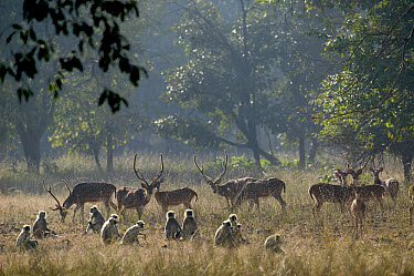 Axis Deer (Axis axis) and Hanuman Langur (Semnopithecus entellus) troop, Bandhavgarh National Park, India  -  Cyril Ruoso