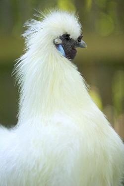 Chicken (Gallus domesticus) male portrait, France  -  Cyril Ruoso