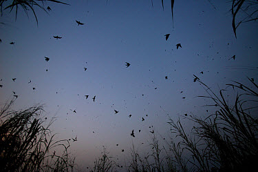 Barn Swallow (Hirundo rustica) flock roosting overnight in the elephant grass, Ebakken, Nigeria  -  Cyril Ruoso