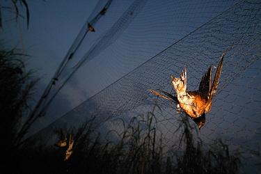 Barn Swallow (Hirundo rustica) caught in mist net collector for banding, Ebakken, Nigeria  -  Cyril Ruoso