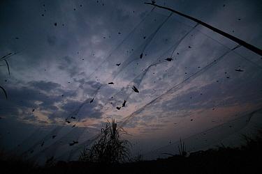 Barn Swallow (Hirundo rustica) migrating flock caught in mist net at elephant grass roost for banding, Ebakken, Nigeria  -  Cyril Ruoso