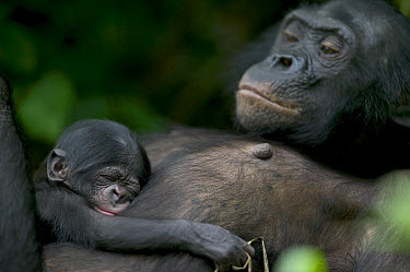 Bonobo (Pan paniscus) female with newborn, Sanctuary Lola Ya Bonobo Chimpanzee, Democratic Republic of the Congo  -  Cyril Ruoso