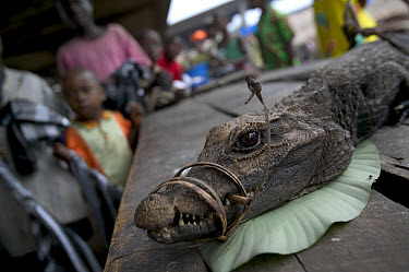 Crocodile bush meat for sale at the Bandaka Market, north of the Democratic Republic of the Congo  -  Cyril Ruoso