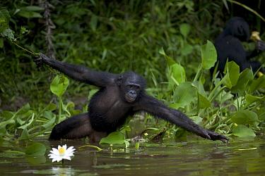 Bonobo (Pan paniscus), orphan reaching for floating food, Sanctuary Lola Ya Bonobo Chimpanzee, Democratic Republic of the Congo  -  Cyril Ruoso