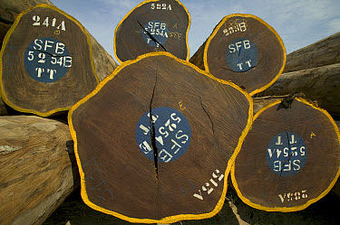 Tree trunks logged by German company and certificated as legal wood from the Congo forest, destination Europe, Democratic Republic of the Congo  -  Cyril Ruoso