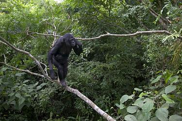 Bonobo (Pan paniscus) female orphan with newborn, Sanctuary Lola Ya Bonobo Chimpanzee, Democratic Republic of the Congo  -  Cyril Ruoso