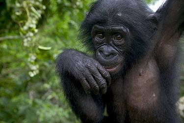 Bonobo (Pan paniscus) juvenile orphan, Sanctuary Lola Ya Bonobo Chimpanzee, Democratic Republic of the Congo  -  Cyril Ruoso