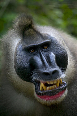 Drill (Mandrillus leucophaeus) adult male appeasement face, Pandrillus Drill Sanctuary, Nigeria  -  Cyril Ruoso