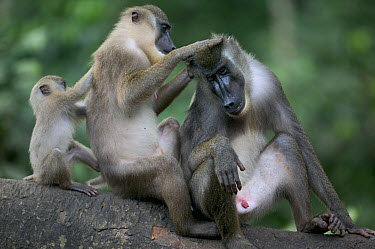 Drill (Mandrillus leucophaeus) pair of adults and baby grooming each other, Pandrillus Drill Sanctuary, Nigeria  -  Cyril Ruoso