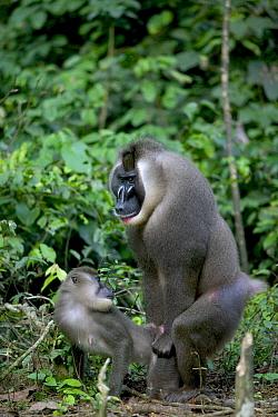 Drill (Mandrillus leucophaeus) pair mating, Pandrillus Drill Sanctuary, Nigeria  -  Cyril Ruoso