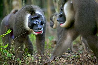 Drill (Mandrillus leucophaeus) intruder challenging dominant male for leadership of harem, Pandrillus Drill Sanctuary, Nigeria  -  Cyril Ruoso