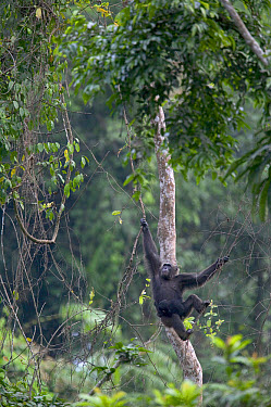Chimpanzee (Pan troglodytes) adult female swinging with baby, Pandrillus Drill Sanctuary, Nigeria  -  Cyril Ruoso