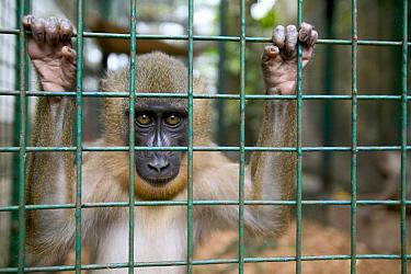Drill (Mandrillus leucophaeus) orphan infant, Pandrillus Drill Sanctuary, Nigeria  -  Cyril Ruoso