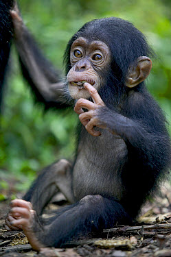 Chimpanzee (Pan troglodytes) infant, Pandrillus Drill Sanctuary, Nigeria  -  Cyril Ruoso