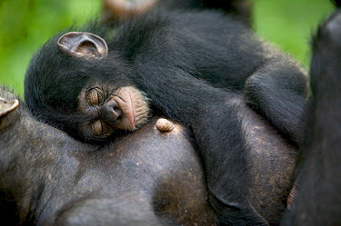 Chimpanzee (Pan troglodytes) adult female with sleeping infant, Pandrillus Drill Sanctuary, Nigeria  -  Cyril Ruoso