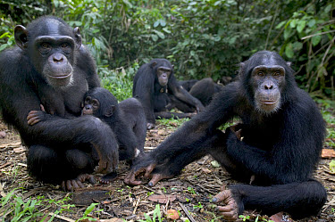 Chimpanzee (Pan troglodytes) adults and young, Pandrillus Drill Sanctuary, Nigeria  -  Cyril Ruoso