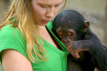 Chimpanzee (Pan troglodytes) baby playing with keeper, Pandrillus Drill Sanctuary, Nigeria  -  Cyril Ruoso