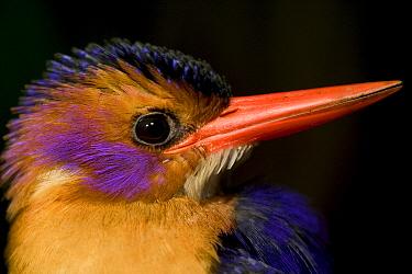 African Pygmy Kingfisher (Ispidina picta) portrait, Cross River State, Nigeria  -  Cyril Ruoso