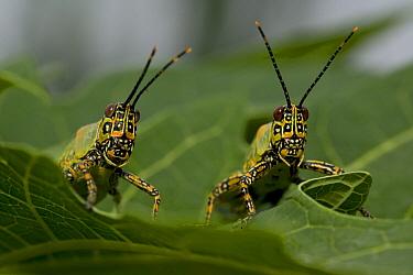Locust pair, Democratic Republic of the Congo  -  Cyril Ruoso